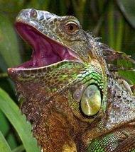 Iguana_Cincinnati%20Zoo.jpg