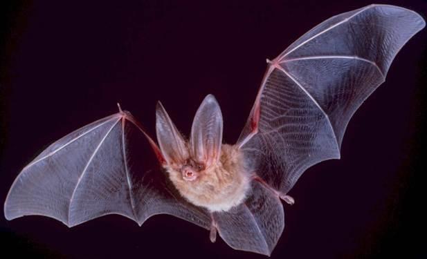 bat-wikipedia.jpg