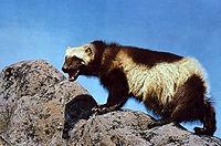 real Wolverine.jpg