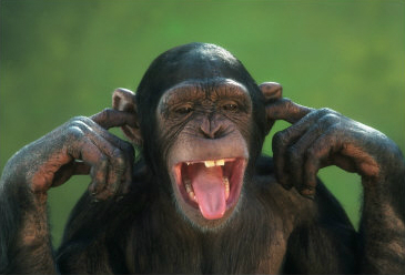 chimp blocks ears.jpg